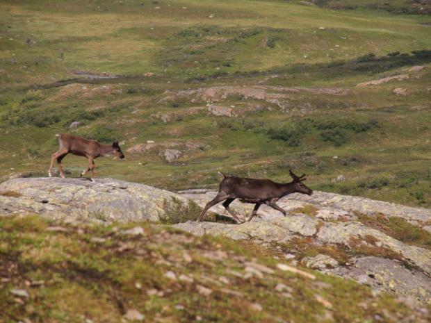 Reindeer near the Jantjønna lake